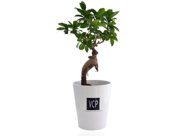 Ficus Ginseng en Pot Céramique - visuel 3