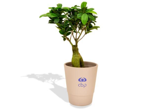 Ficus Ginseng en Pot Céramique - visuel 2