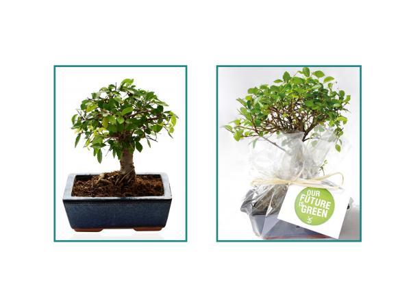Bonsaï Ulmus ou Ficus Forme Boule