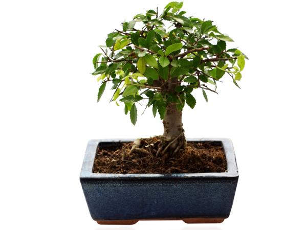 Bonsaï Ulmus ou Ficus Forme Boule - visuel 2