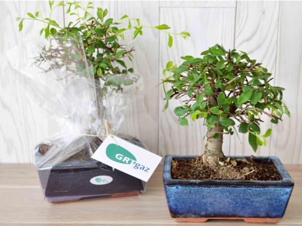 Bonsaï Ulmus ou Ficus Forme Boule - visuel 3