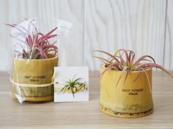 Plante Déco Dépolluante Tillandsia