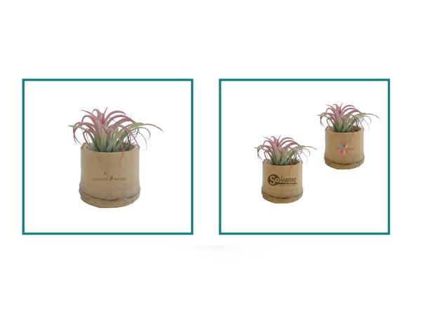 Plante Déco Dépolluante Tillandsia - visuel 2