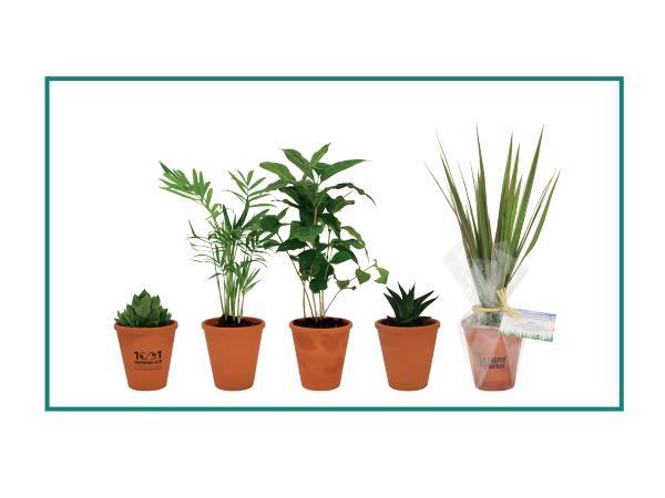 Plante Dépolluante en Pot de Terre Cuite de 10 cm