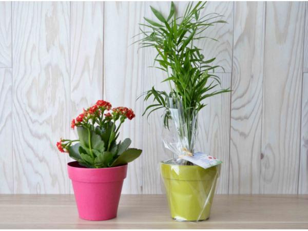 Plante Déco en Pot Bambou 10 cm
