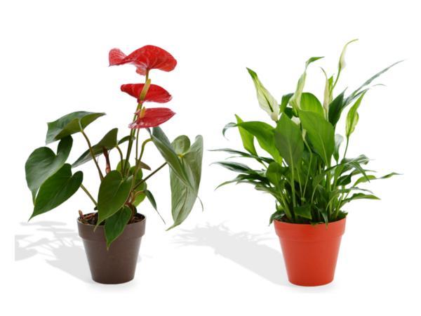 Plante Déco en Pot Bambou 10 cm - visuel 2
