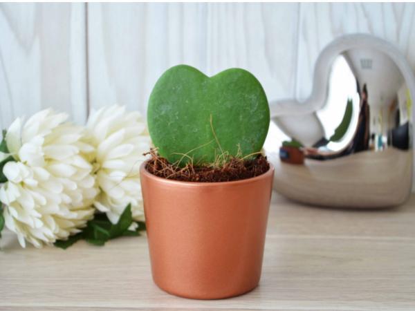 Plante Grasse en Forme de Coeur