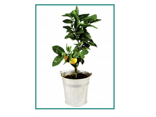Oranger Pot en Zinc