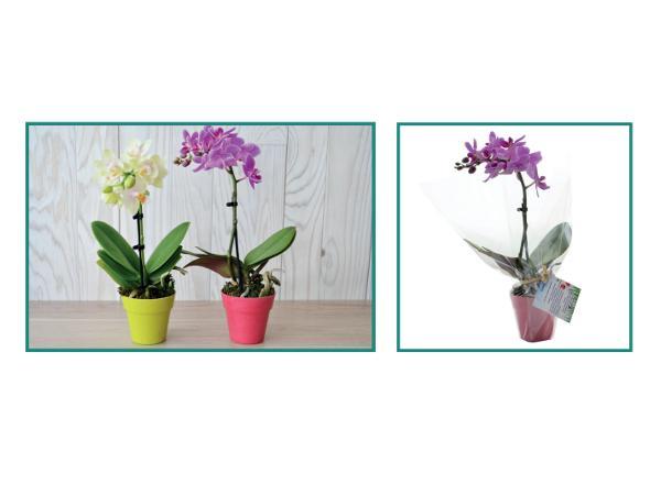 Orchidée en Pot  de 6 cm