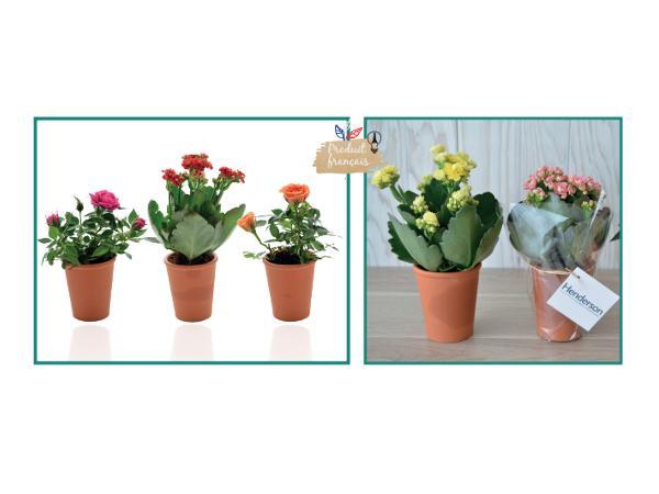 Mini Plante Fleurie en Pot en Terre Cuite de 7 cm