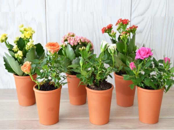 Mini Plante Fleurie en Pot en Terre Cuite de 7 cm  - visuel 2