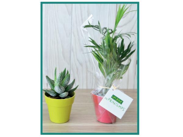 Plante Déco en Pot Bambou 6 cm