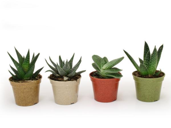 Plante Déco en Pot Bambou 6 cm - visuel 2
